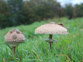 The joy of foraging, parasol mushrooms